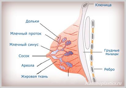 Сосок молочной железы