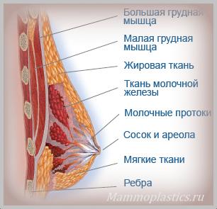 Тело молочной железы