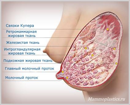 В состав молочной железы входит